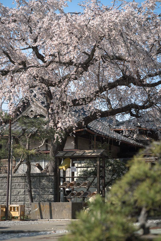 圓頓寺のしだれ桜