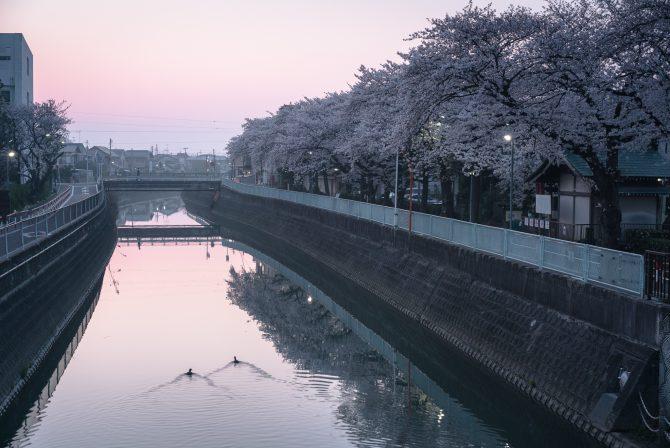 桜色の空と真間川