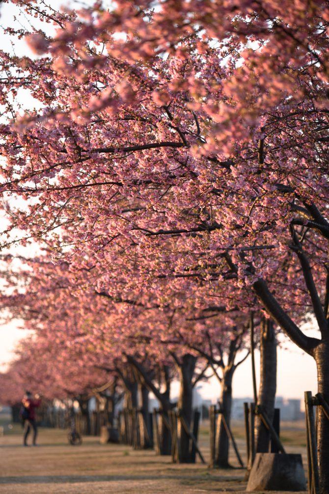 河津桜が見ごろに