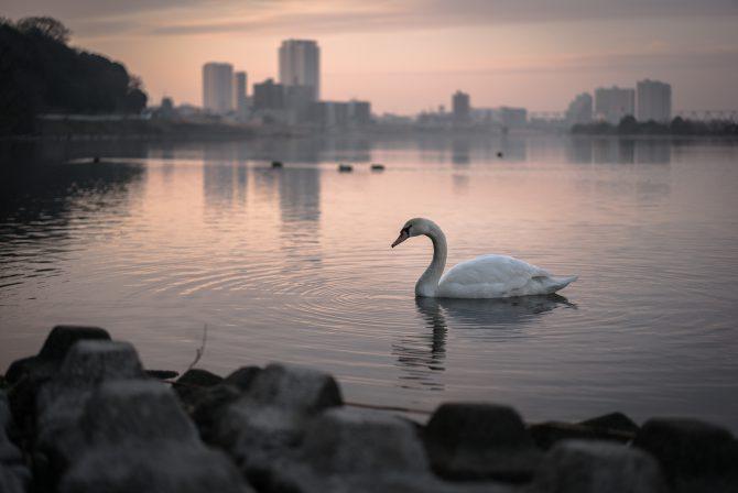白鳥と朝焼けの江戸川