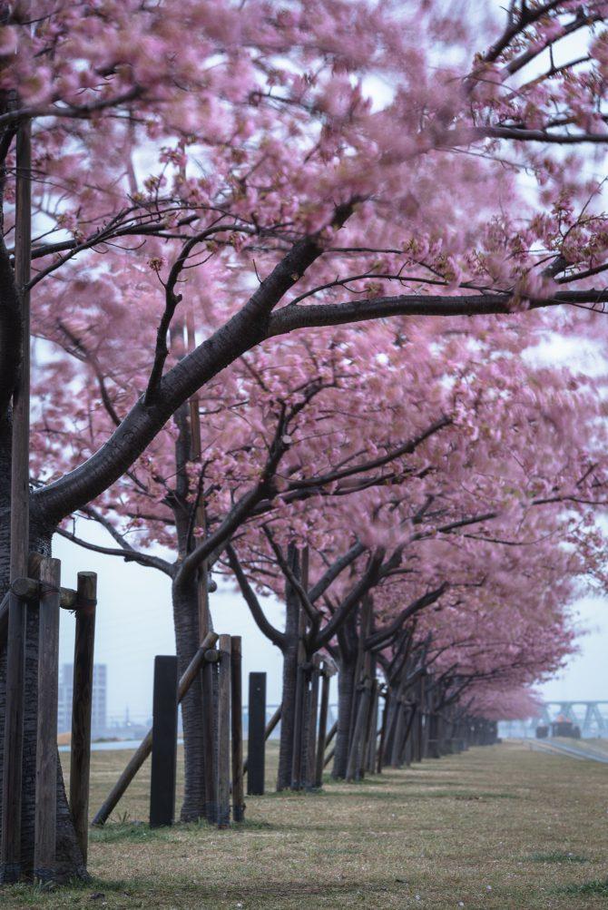 風に揺れる河津桜