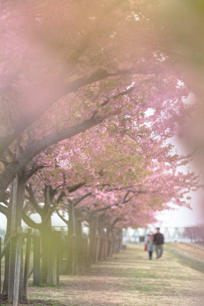 市川南の河津桜並木にて