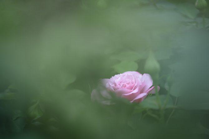 春のバラが咲き始め 里見公園にて