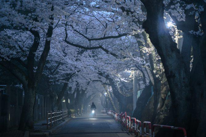 朝もやの桜並木