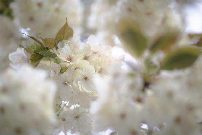 真間山幼稚園のウコン桜