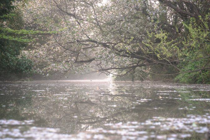 川辺の山桜