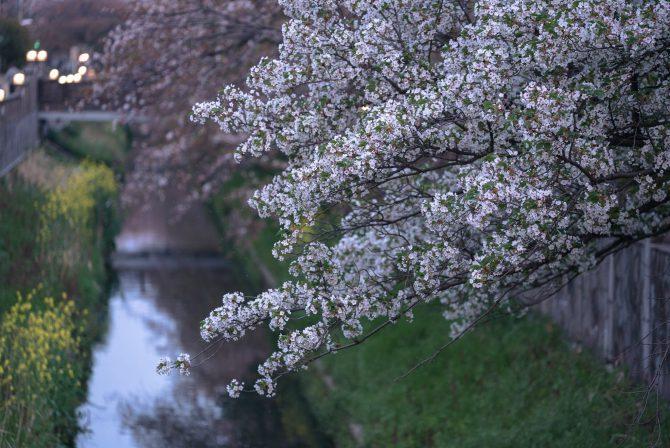オオシマザクラと真間川