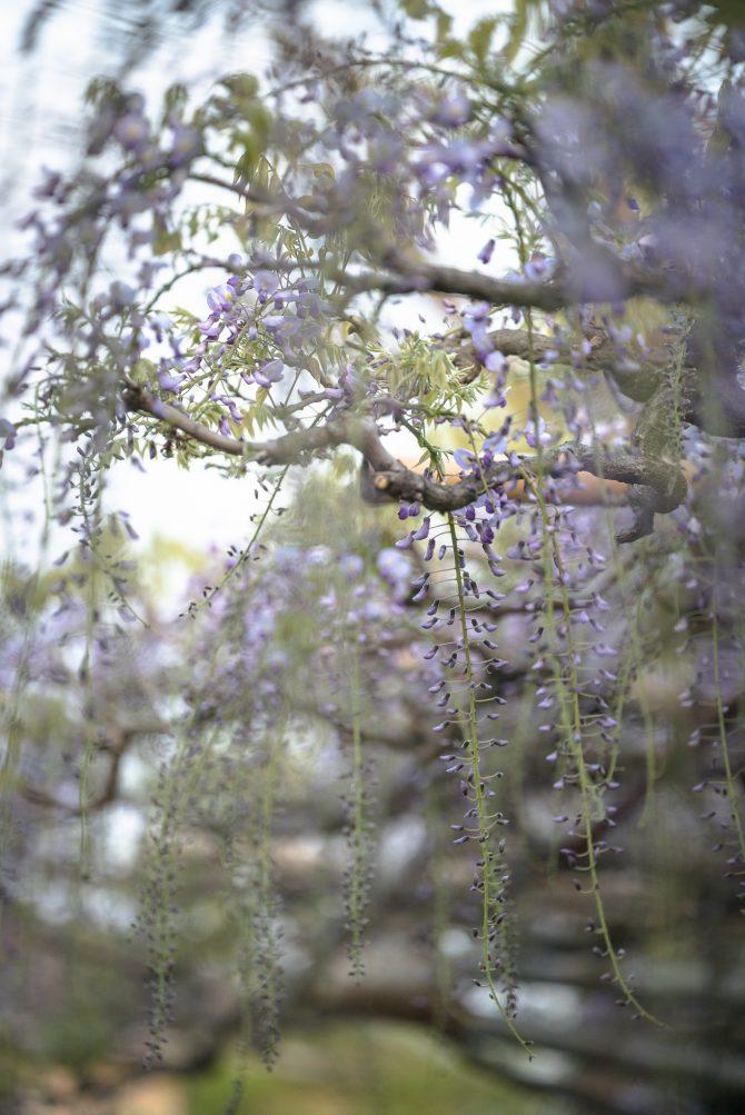 「長寿藤」が咲き始め 高圓寺にて
