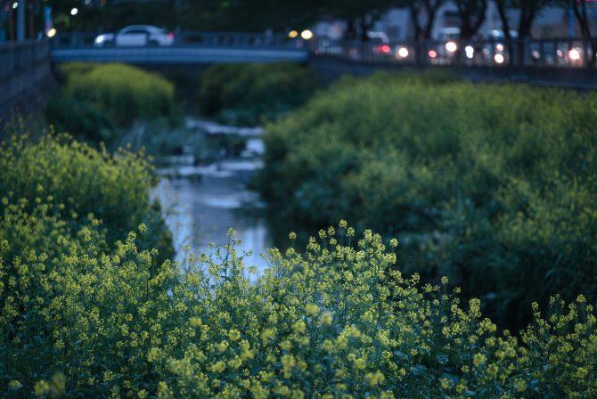 菜の花と大柏川