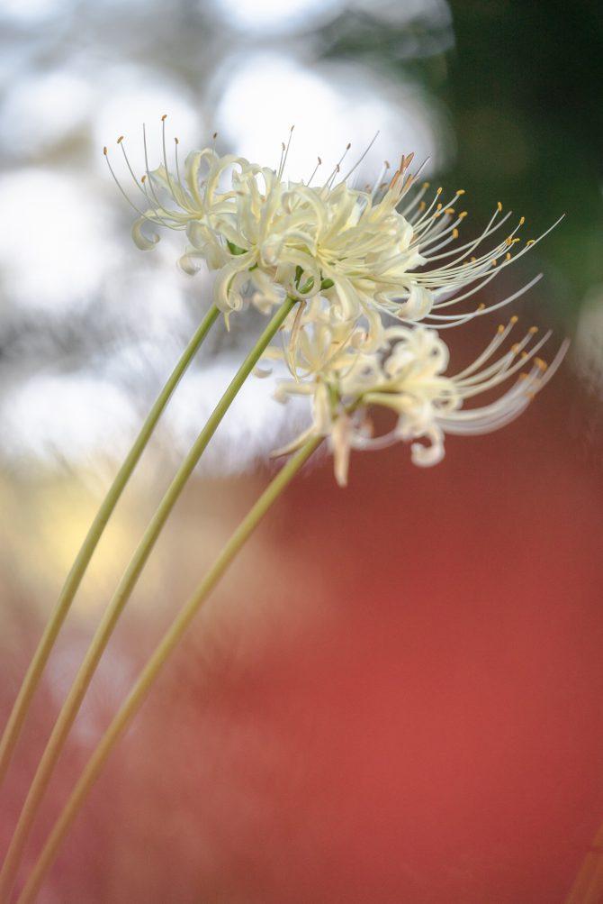 白い彼岸花