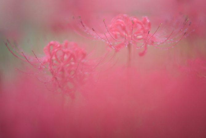 雨中の彼岸花