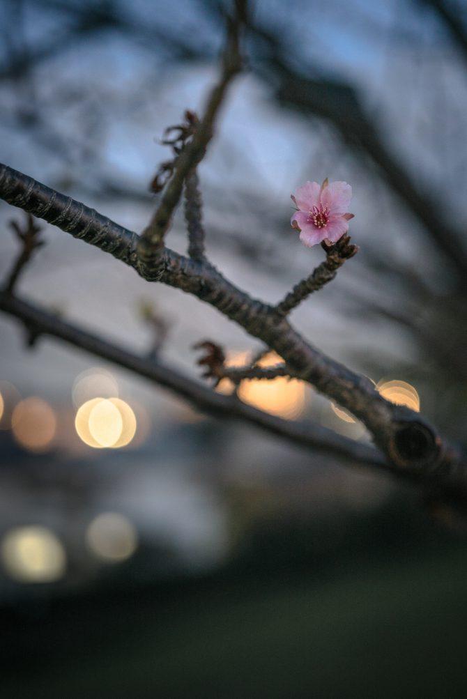 季節外れの河津桜