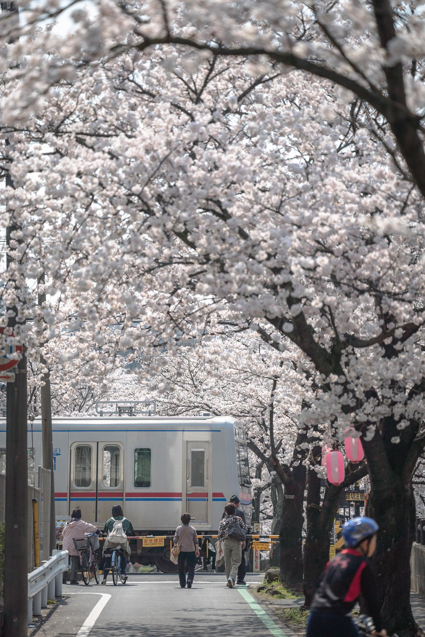 「桜の踏切」 真間川沿いにて