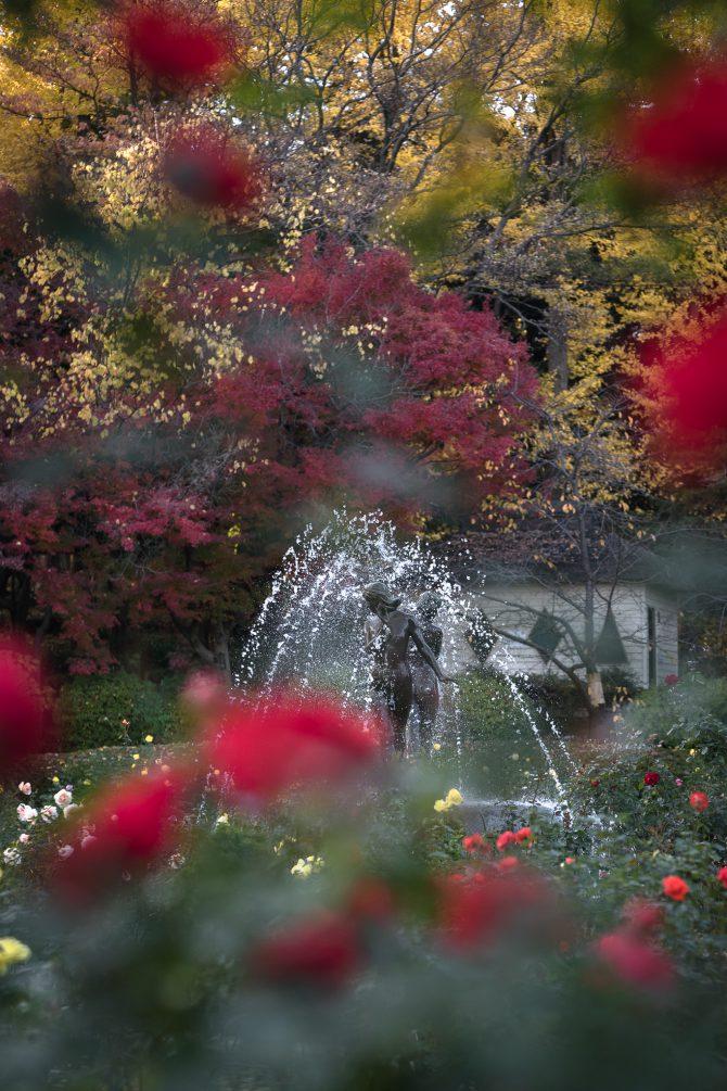 晩秋のバラ園にて