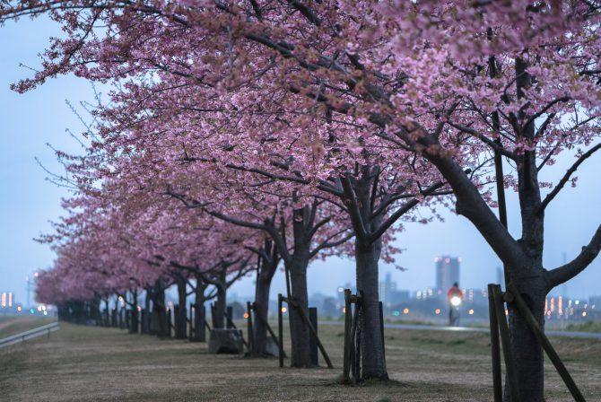 見ごろの河津桜並木