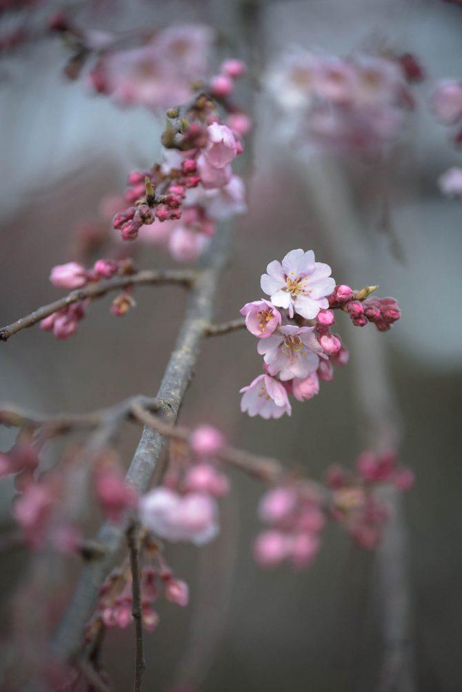 しだれ桜が咲き始め