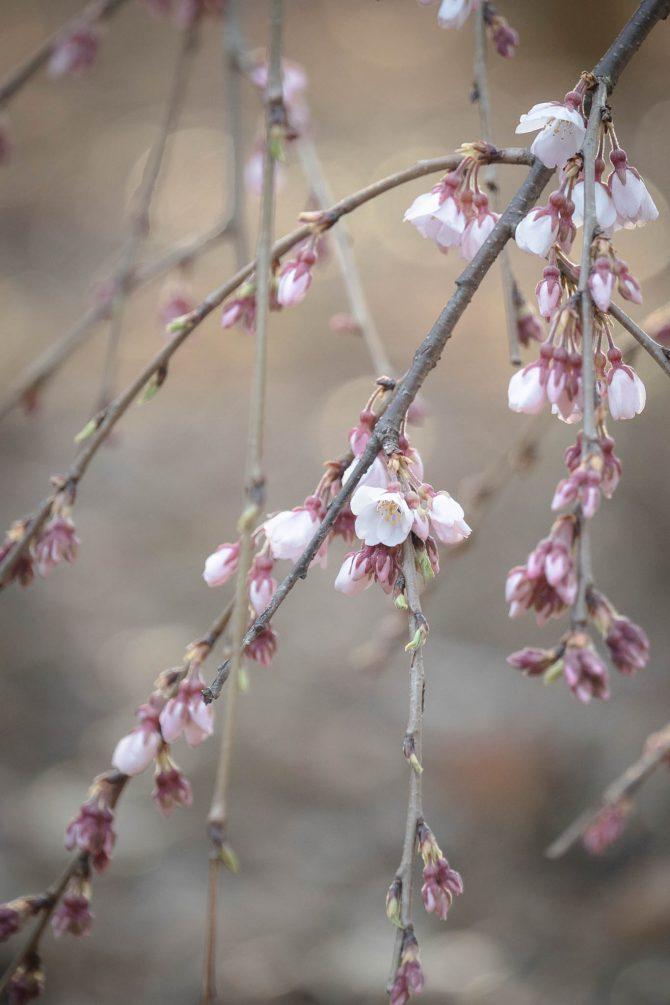 伏姫桜も咲きはじめ 真間山弘法寺にて