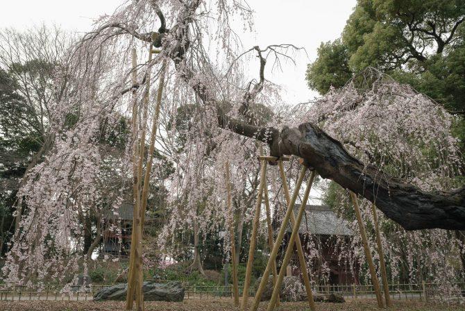 真間山弘法寺の伏姫桜が見ごろに