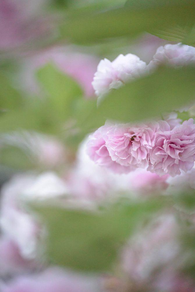 真間山弘法寺の八重桜