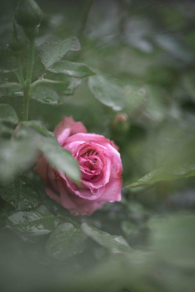 春のバラが咲き始め