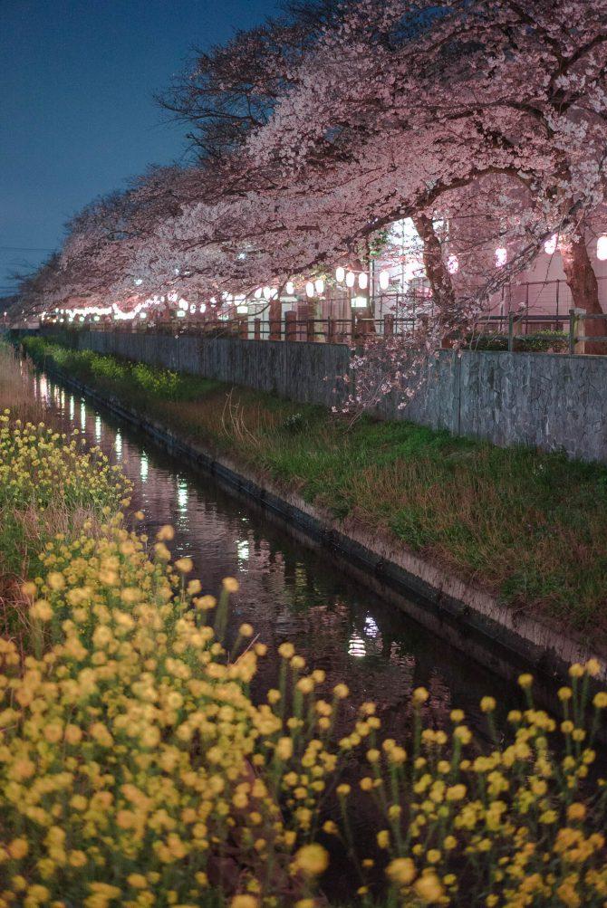 菜の花とソメイヨシノ