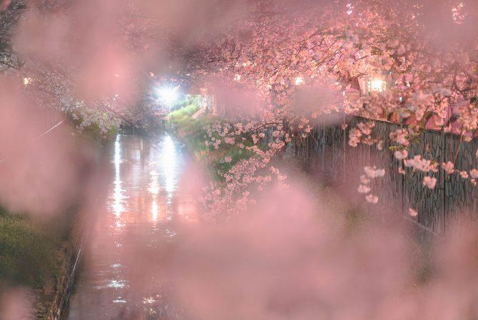 真間川の夜桜