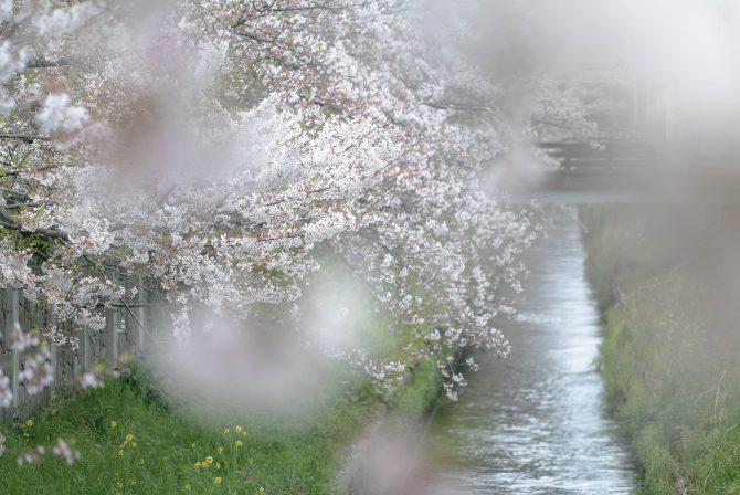 散り始めのソメイヨシノと真間川