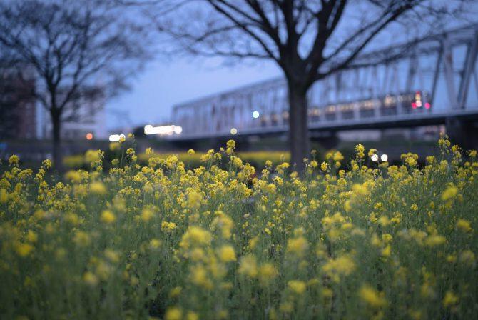 菜の花と京成線