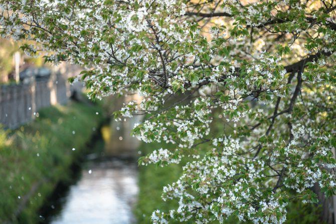 染井吉野の散った真間川で
