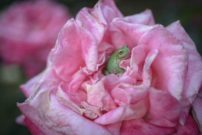 バラの中で