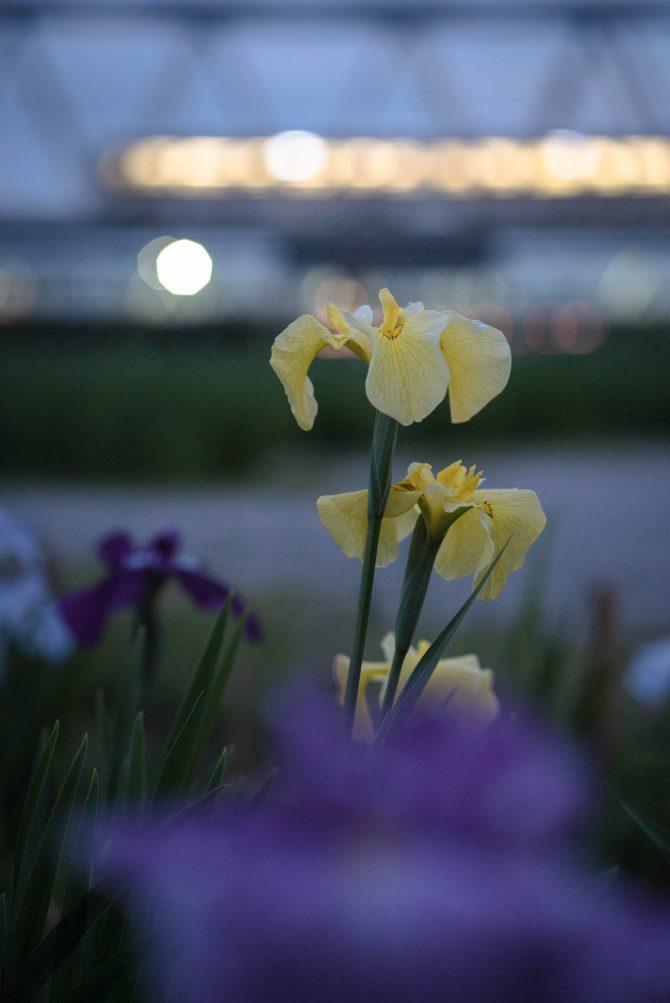小岩菖蒲園のハナショウブ