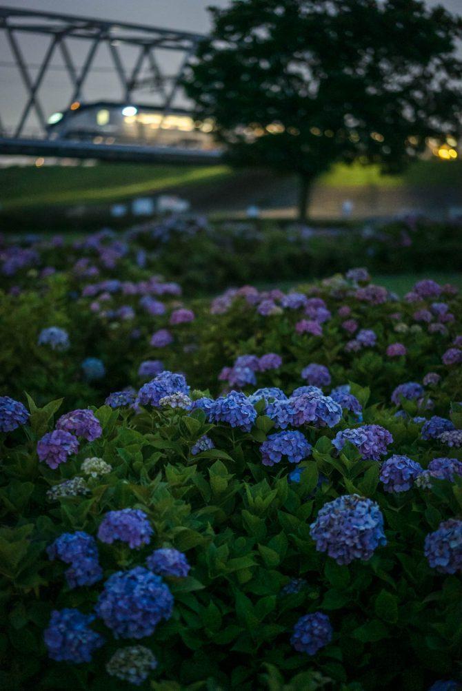 夜の紫陽花とイブニングライナー