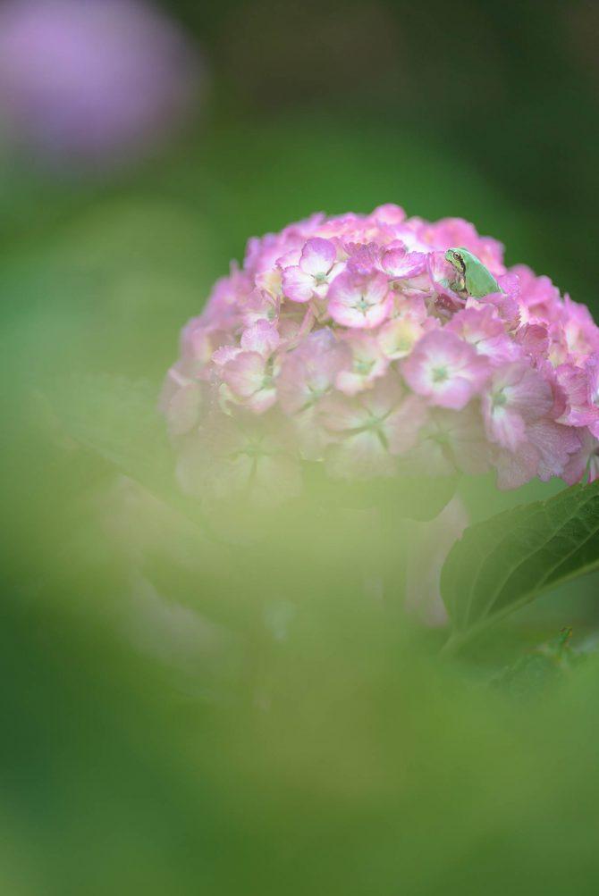 紫陽花の上で