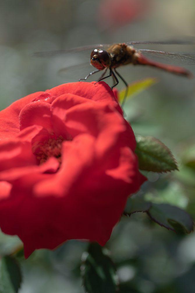 秋のバラと赤とんぼ