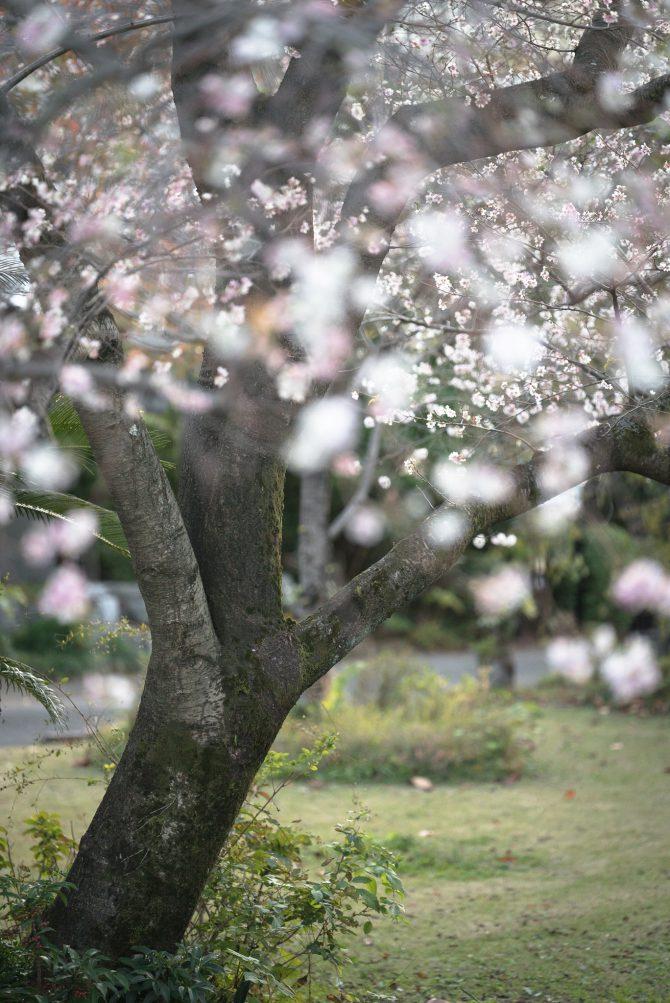 安国院の十月桜