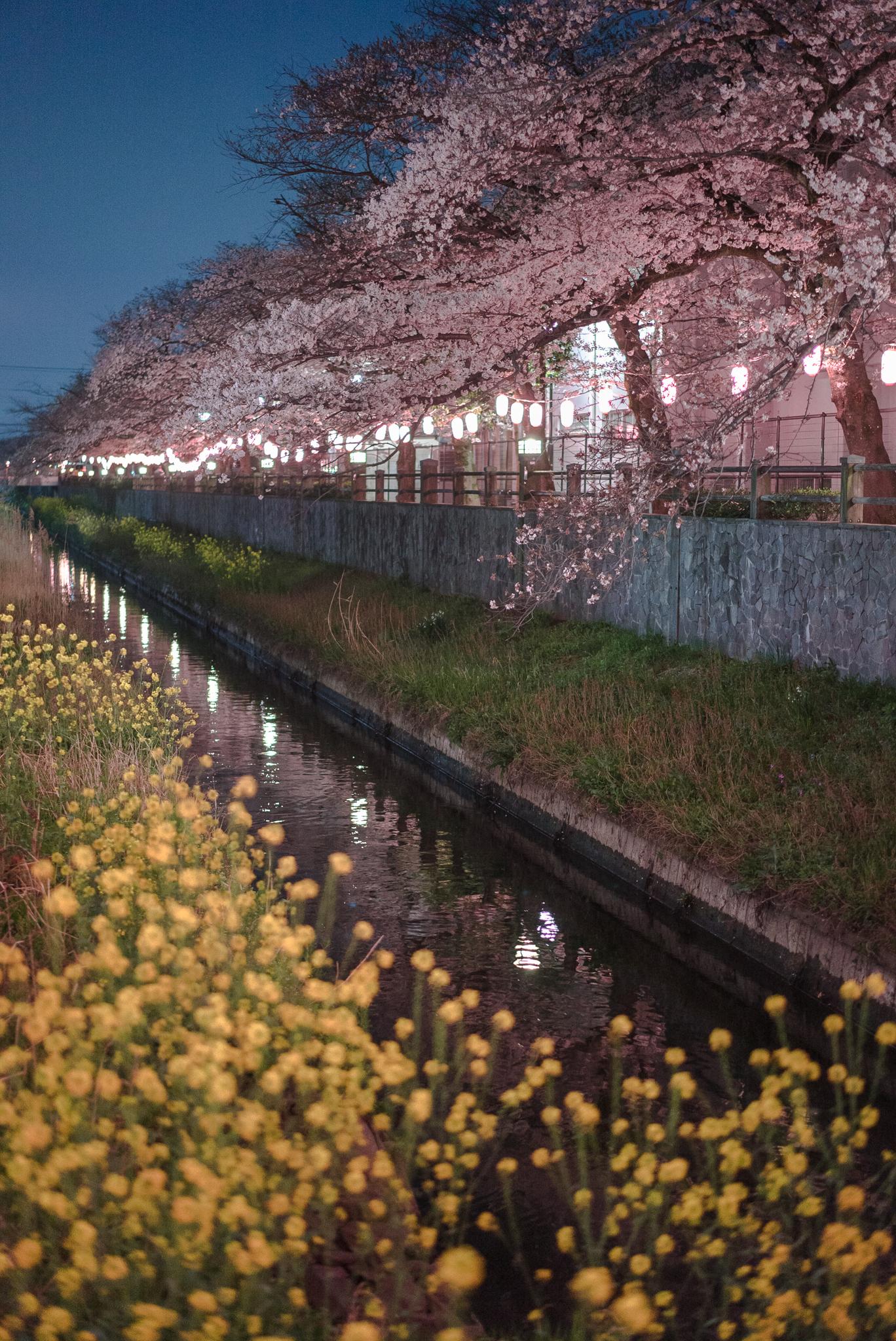 菜の花とソメイヨシノ 2019年4月1日 真間川弁天橋(昭和学院小学校前)より撮影