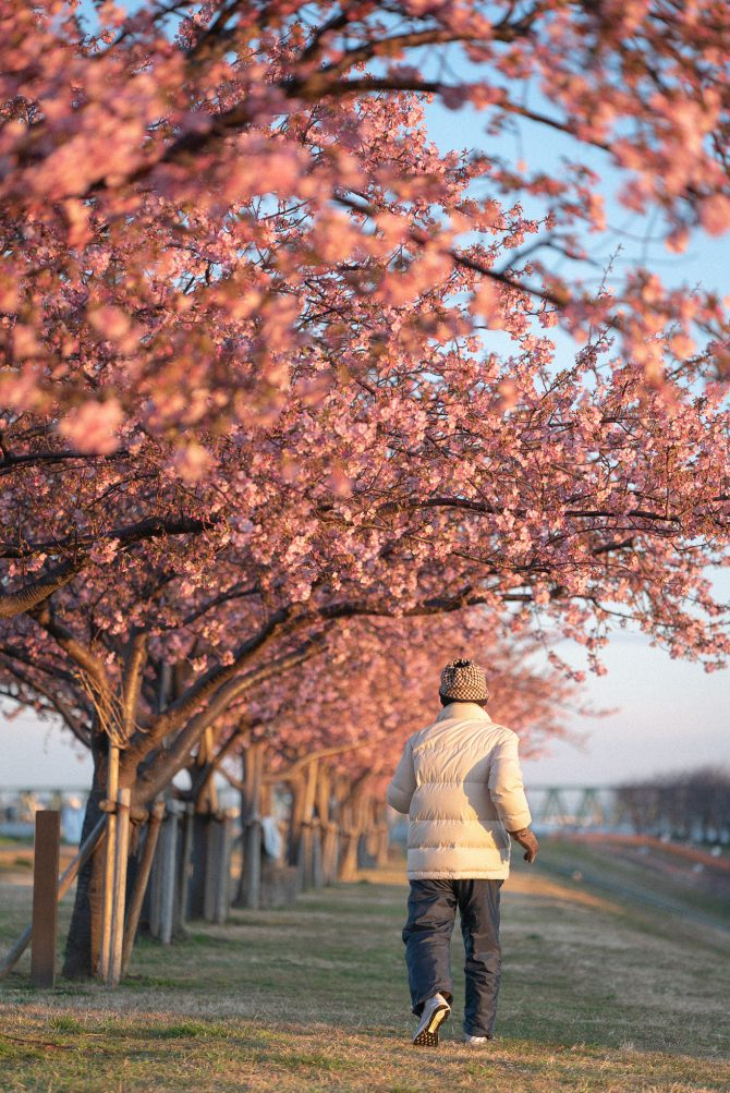 市川南の江戸川土手上の河津桜並木