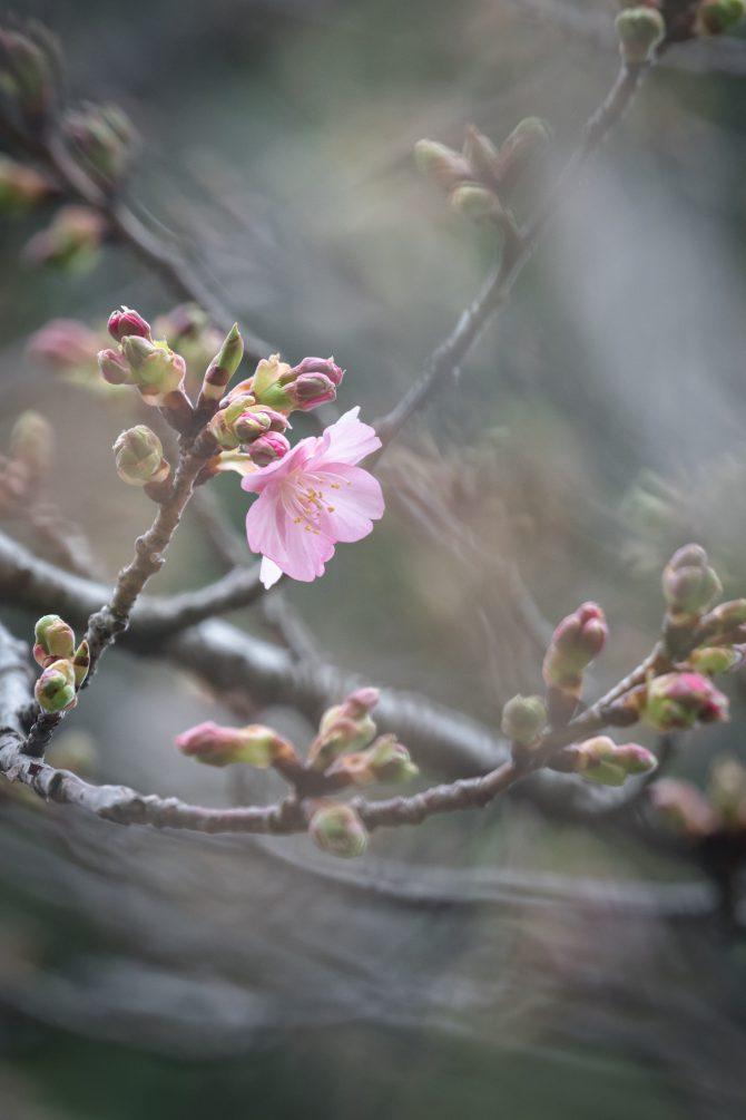 河津桜がちらほらと