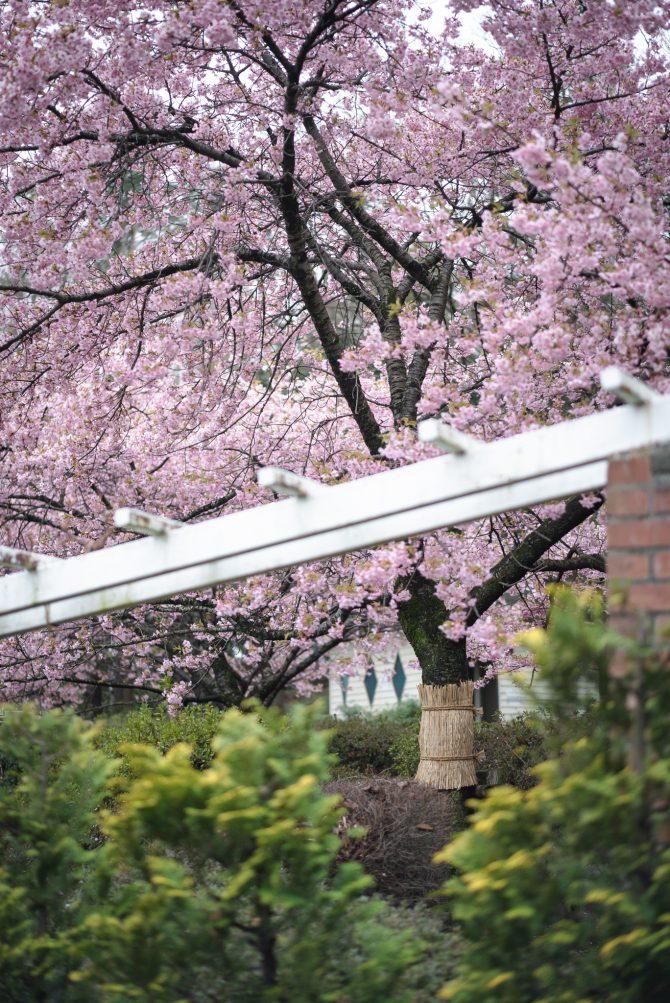 里見公園の河津桜