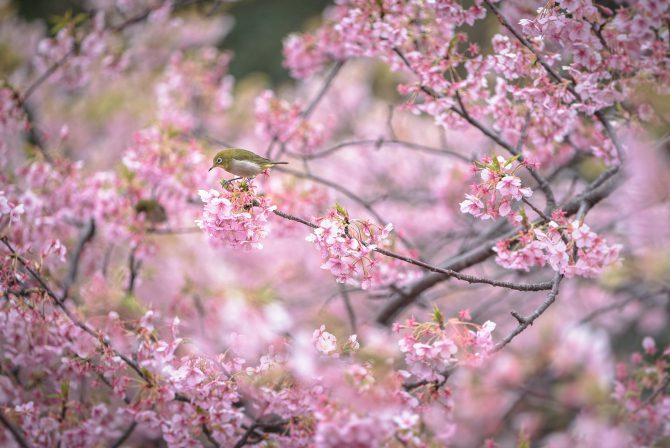 河津桜の上で