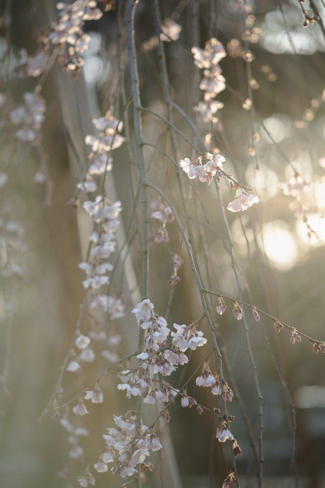 真間山弘法寺の伏姫桜が咲きはじめ