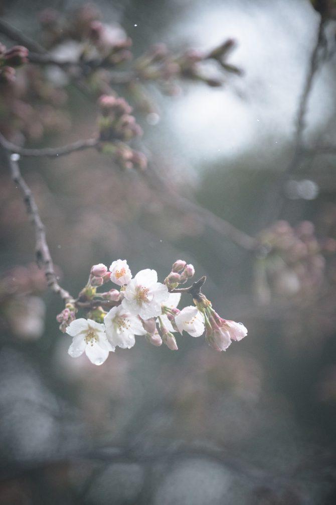 ソメイヨシノが咲きはじめ