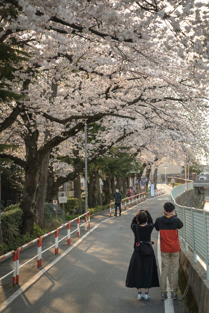 真間小学校前の桜並木