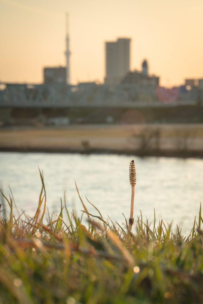 ツクシと夕暮れの江戸川