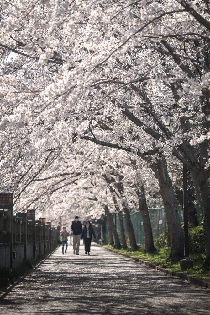 昭和学院小学校近くの桜並木