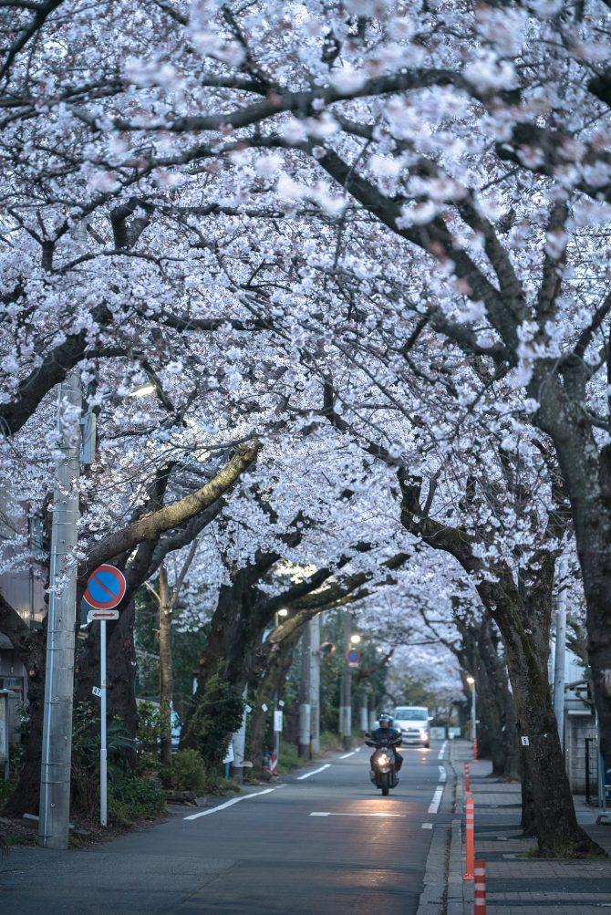 里見公園前の桜並木