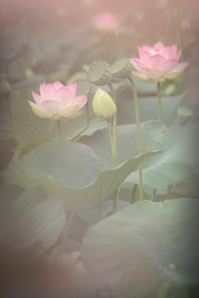 中山法華経寺龍王池のハスの花
