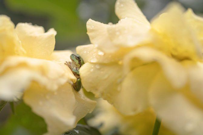 黄色いバラに挟まれて