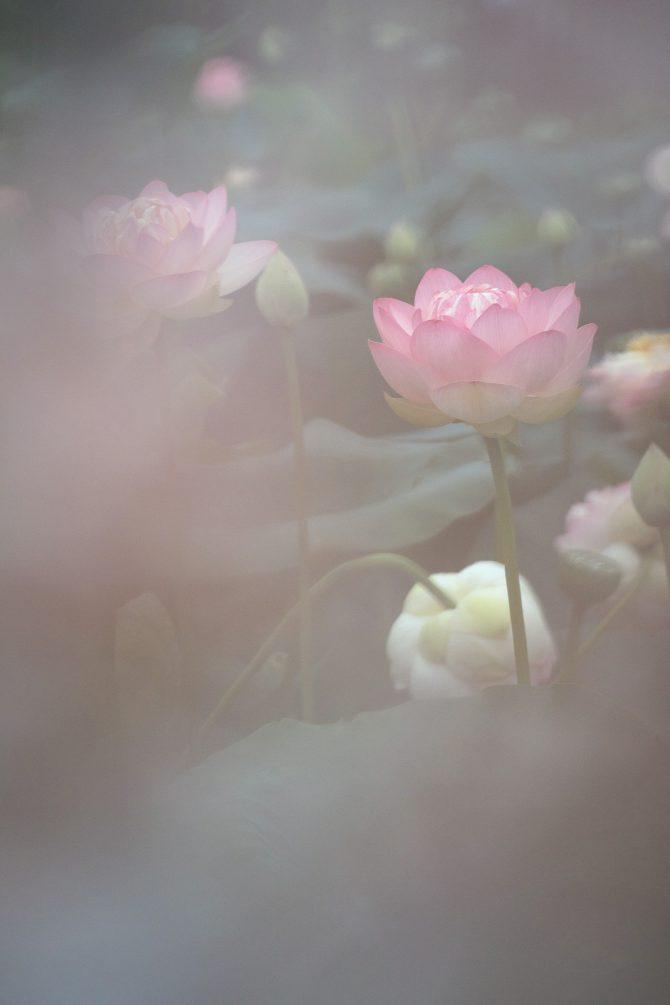 中山法華経寺龍王池のハスの花が見ごろに