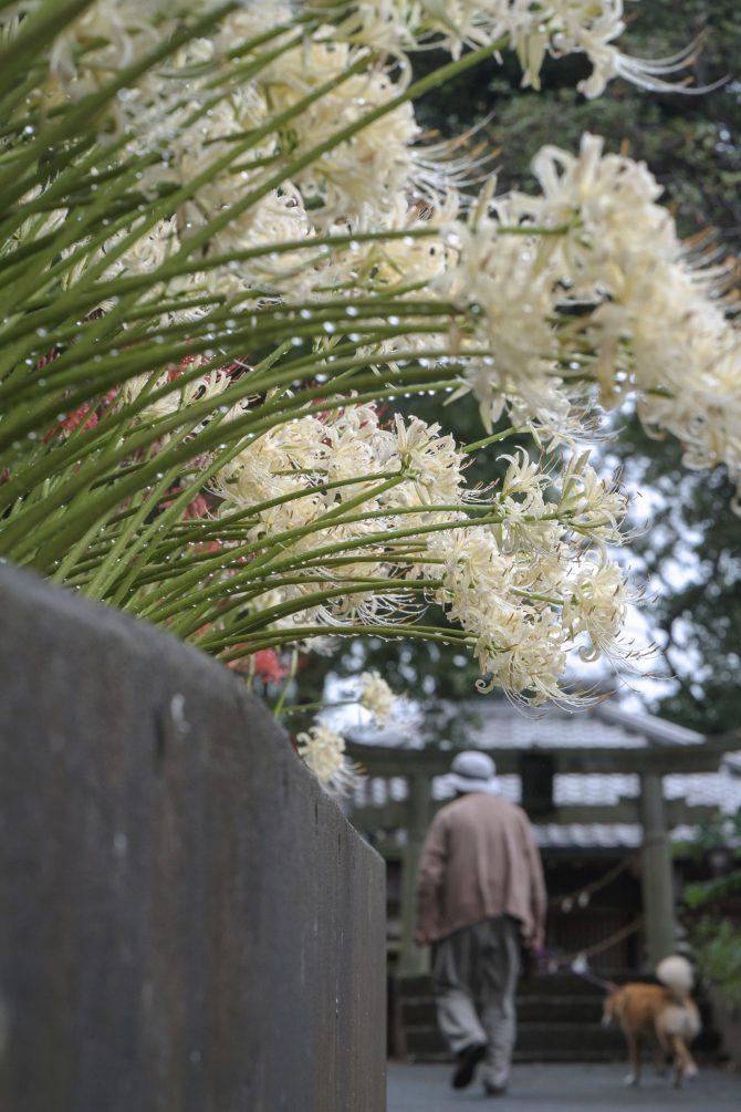 鳥居と白い彼岸花